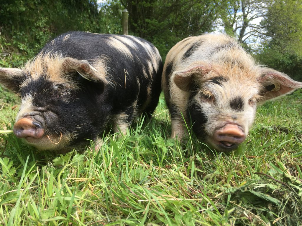 Make friends with the piglets