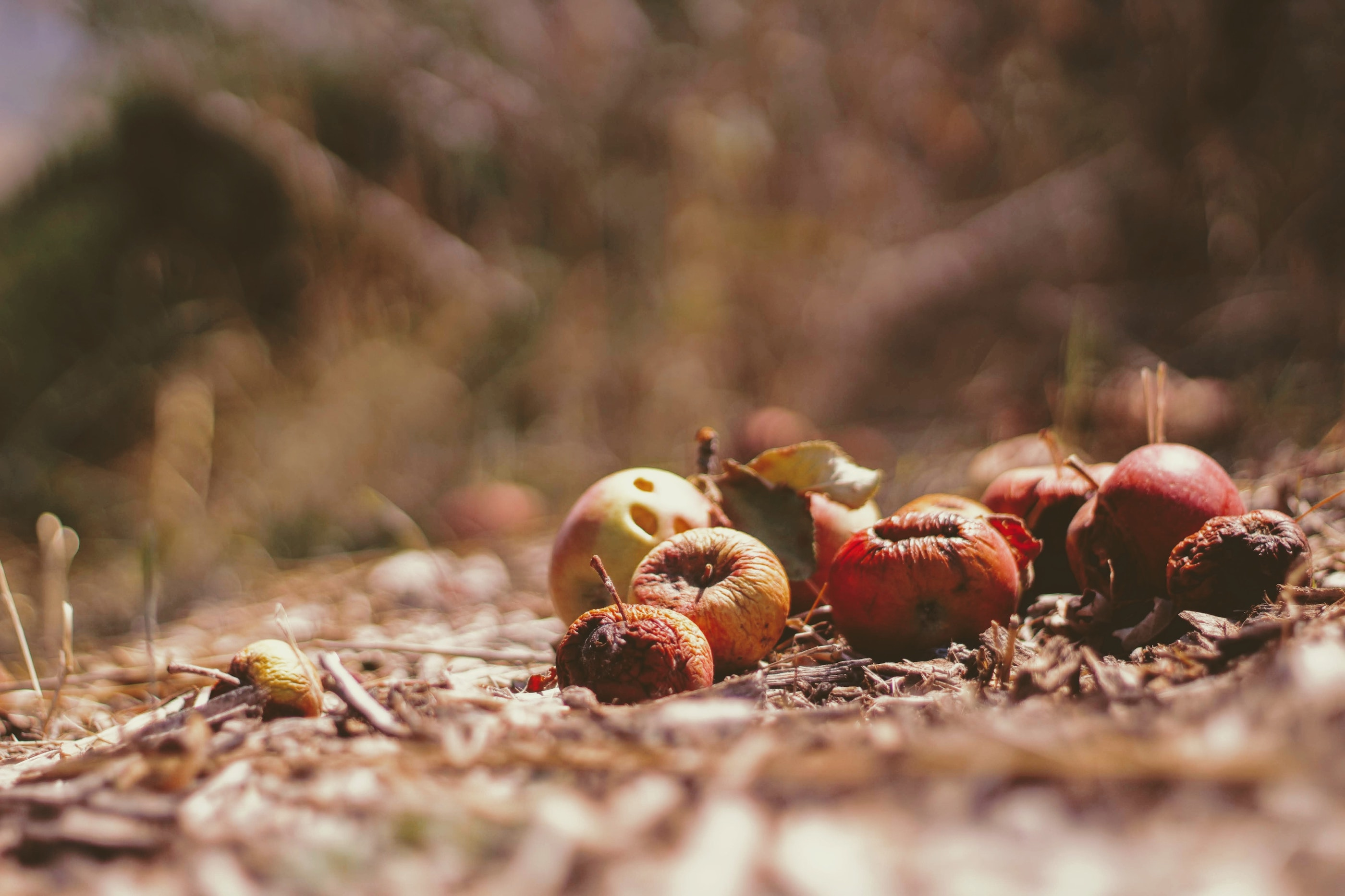 Apples rotting on the ground that are now food waste.