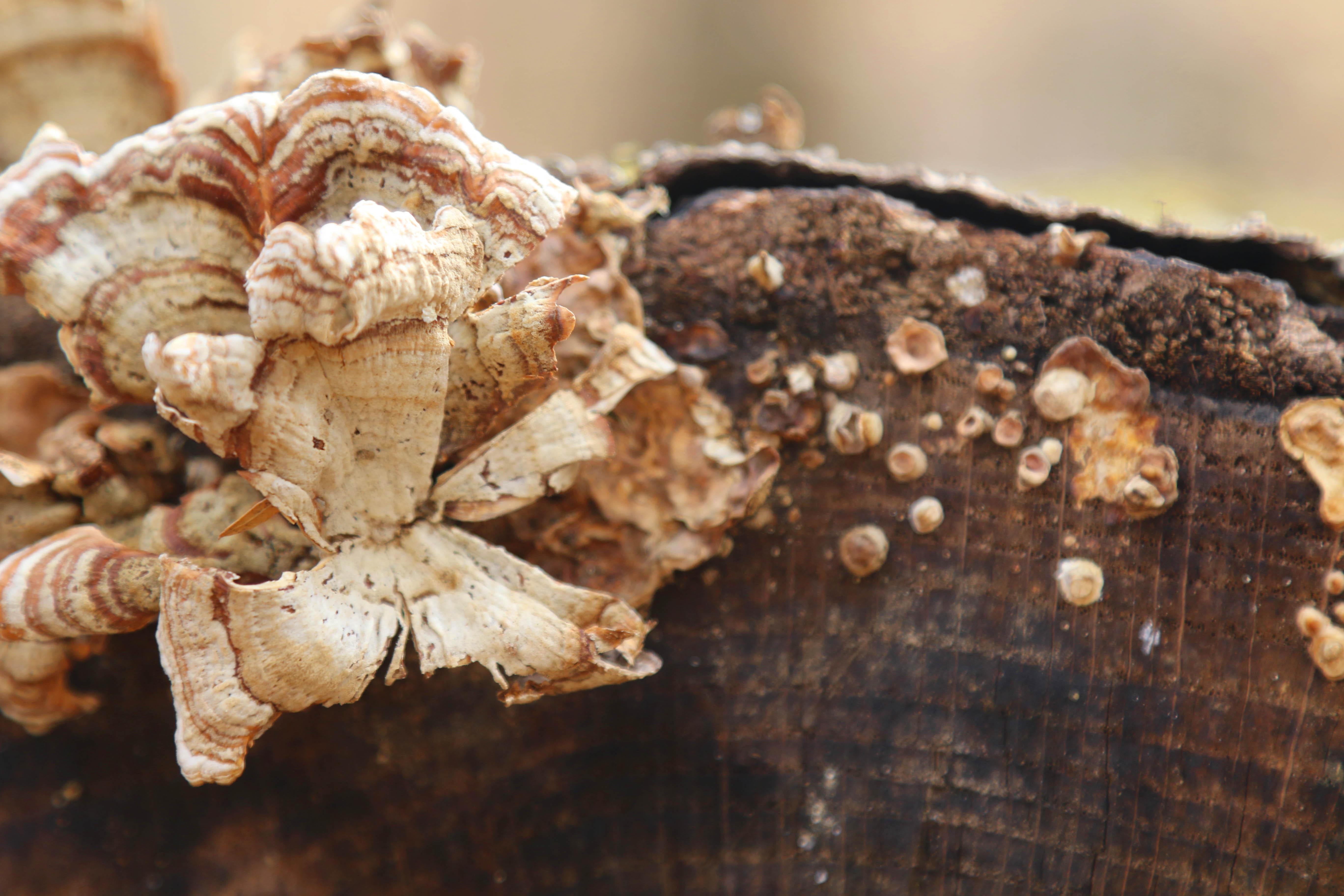 Orange mushrooms growing on log