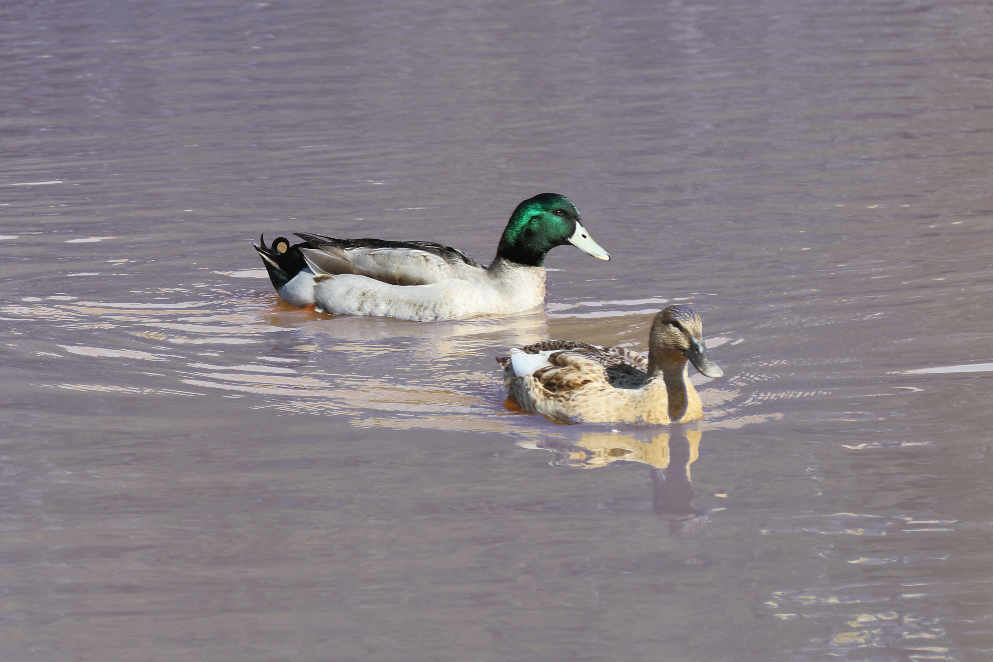A male and female duck swimming next to each other in a pond