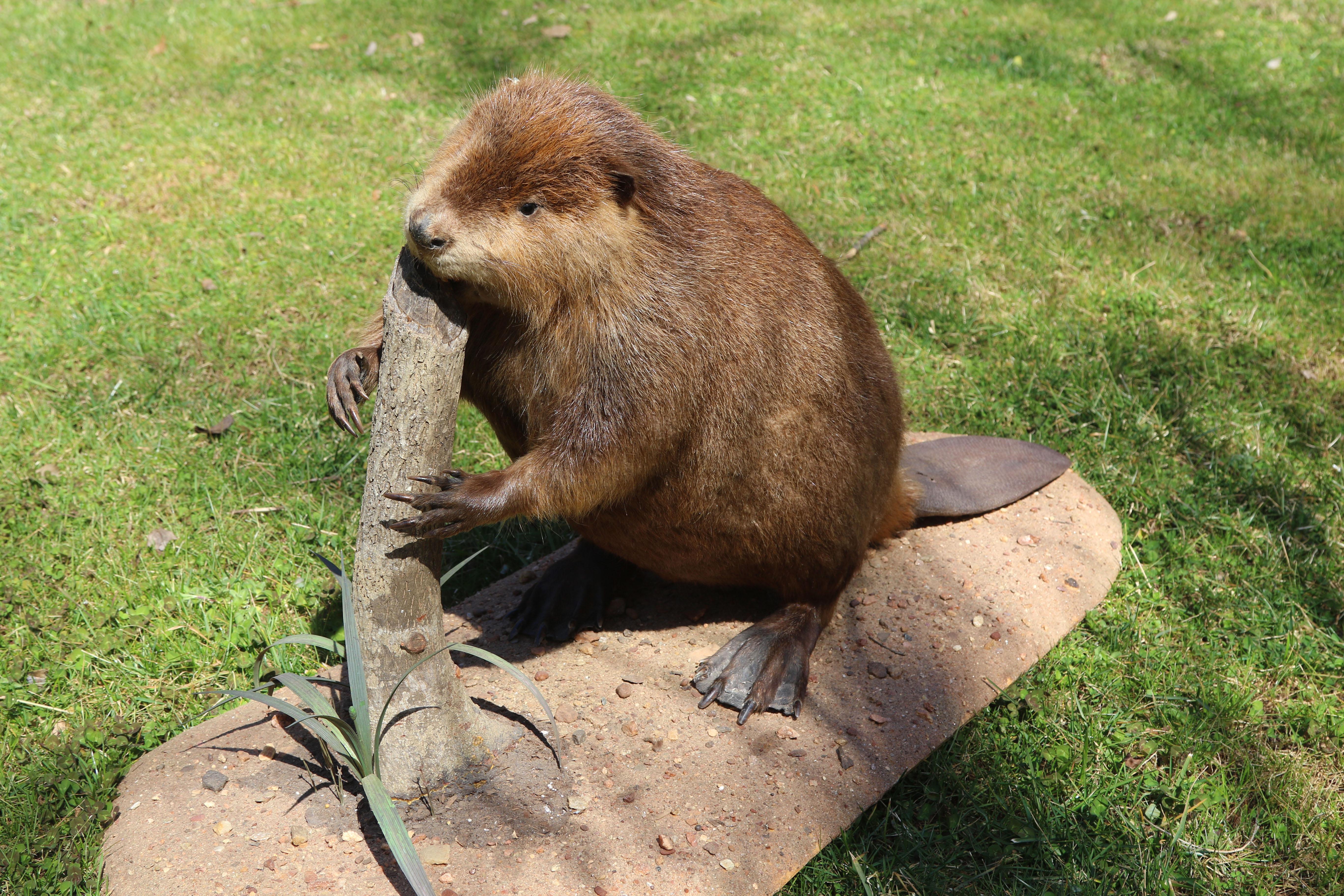 An American beaver holding a log