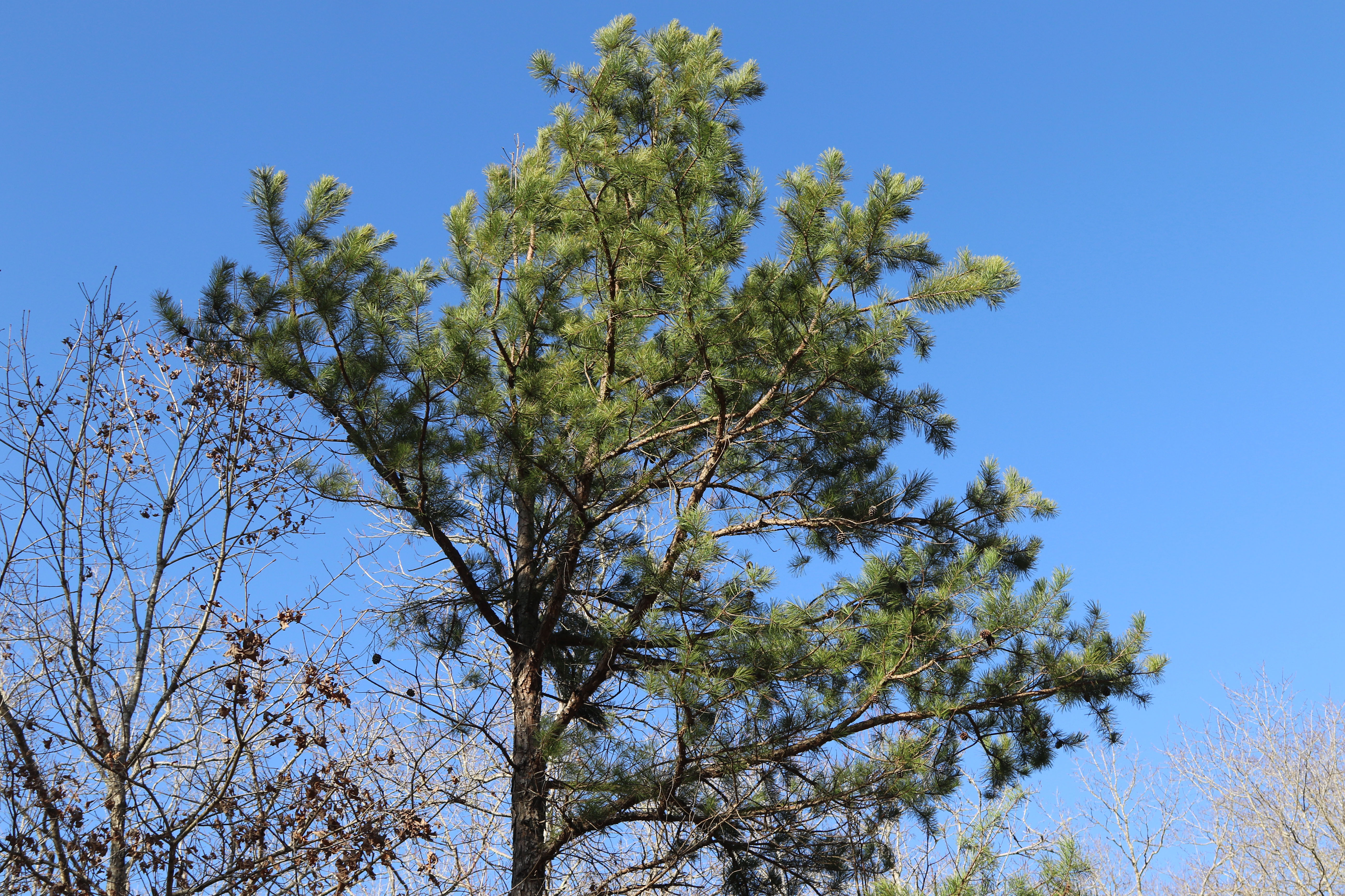 The top of a loblolly pine