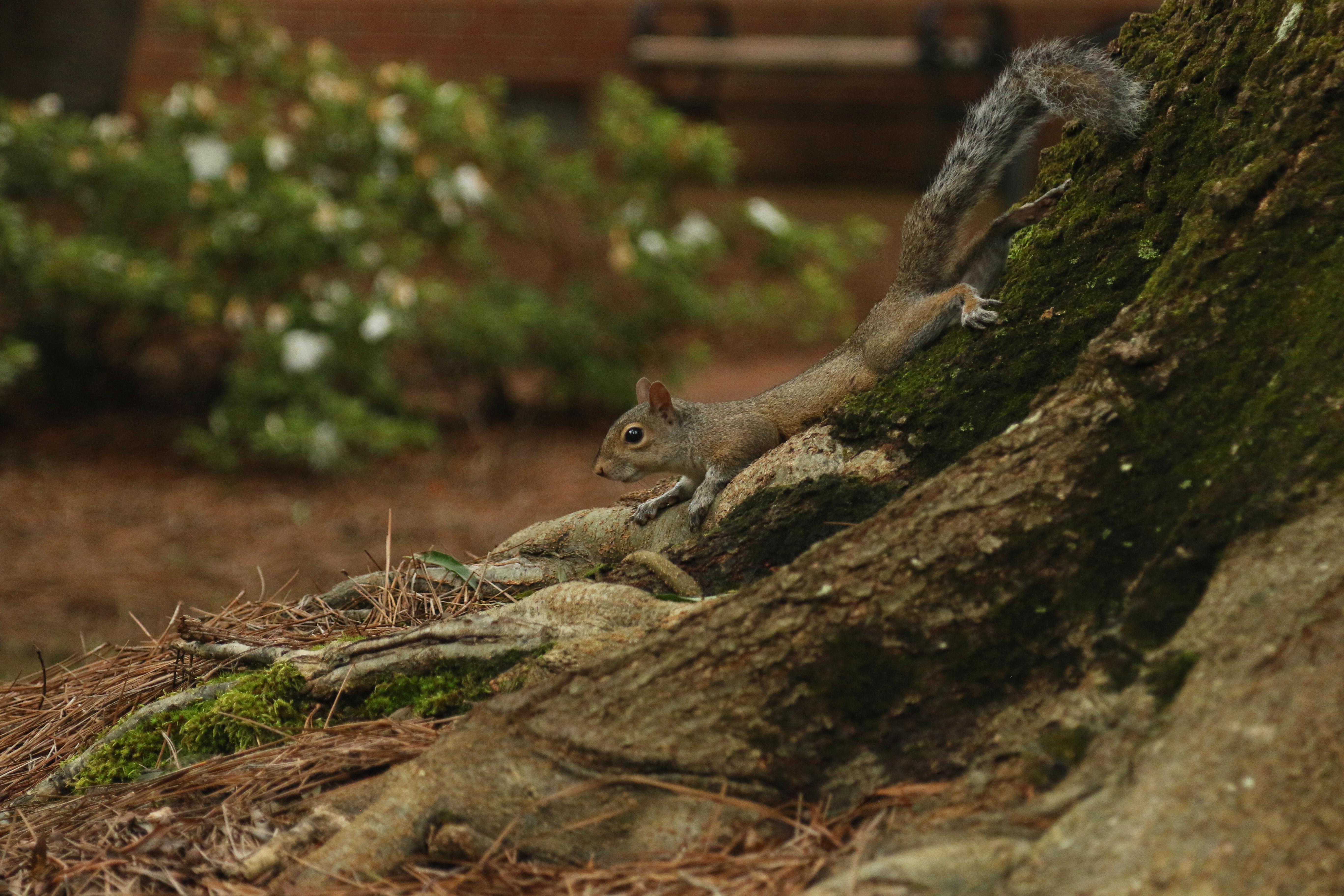 Grey sruirrel on a tree root, in motion