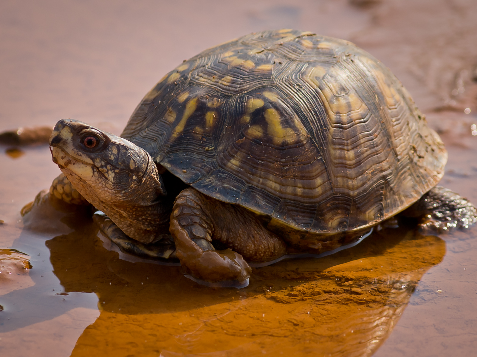 Eastern box turtle in shallow water