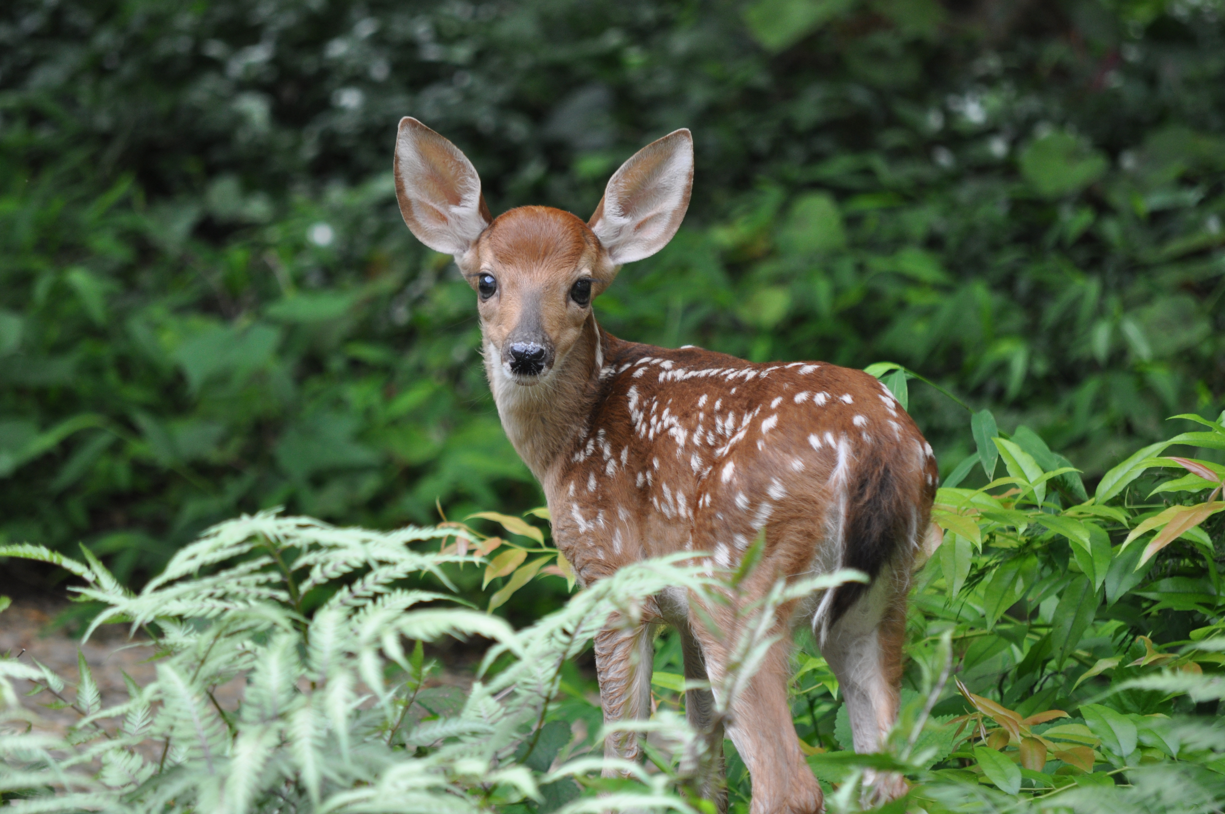Young white tailed deer in a forest