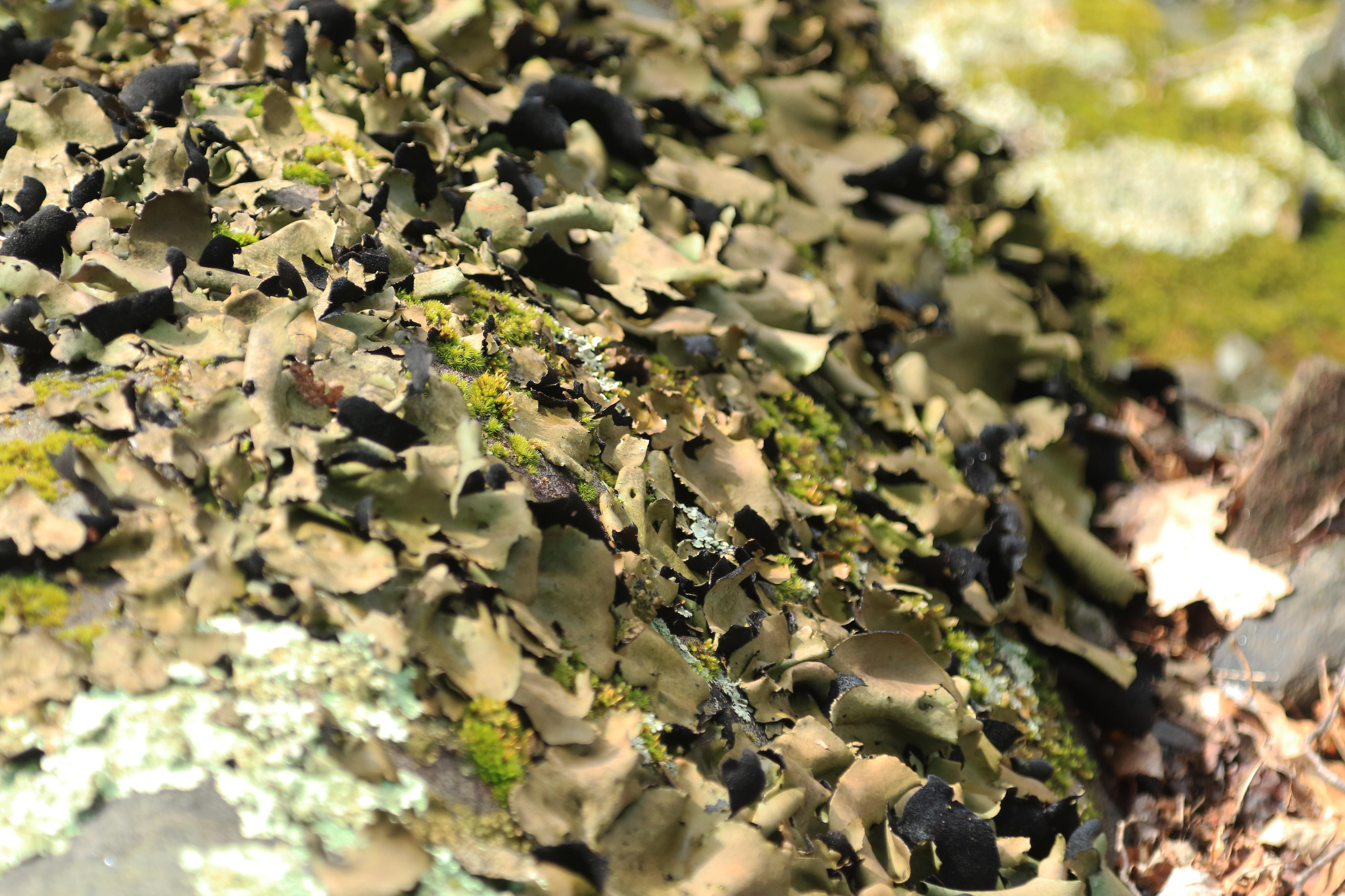 Light green lichen curling off of a log