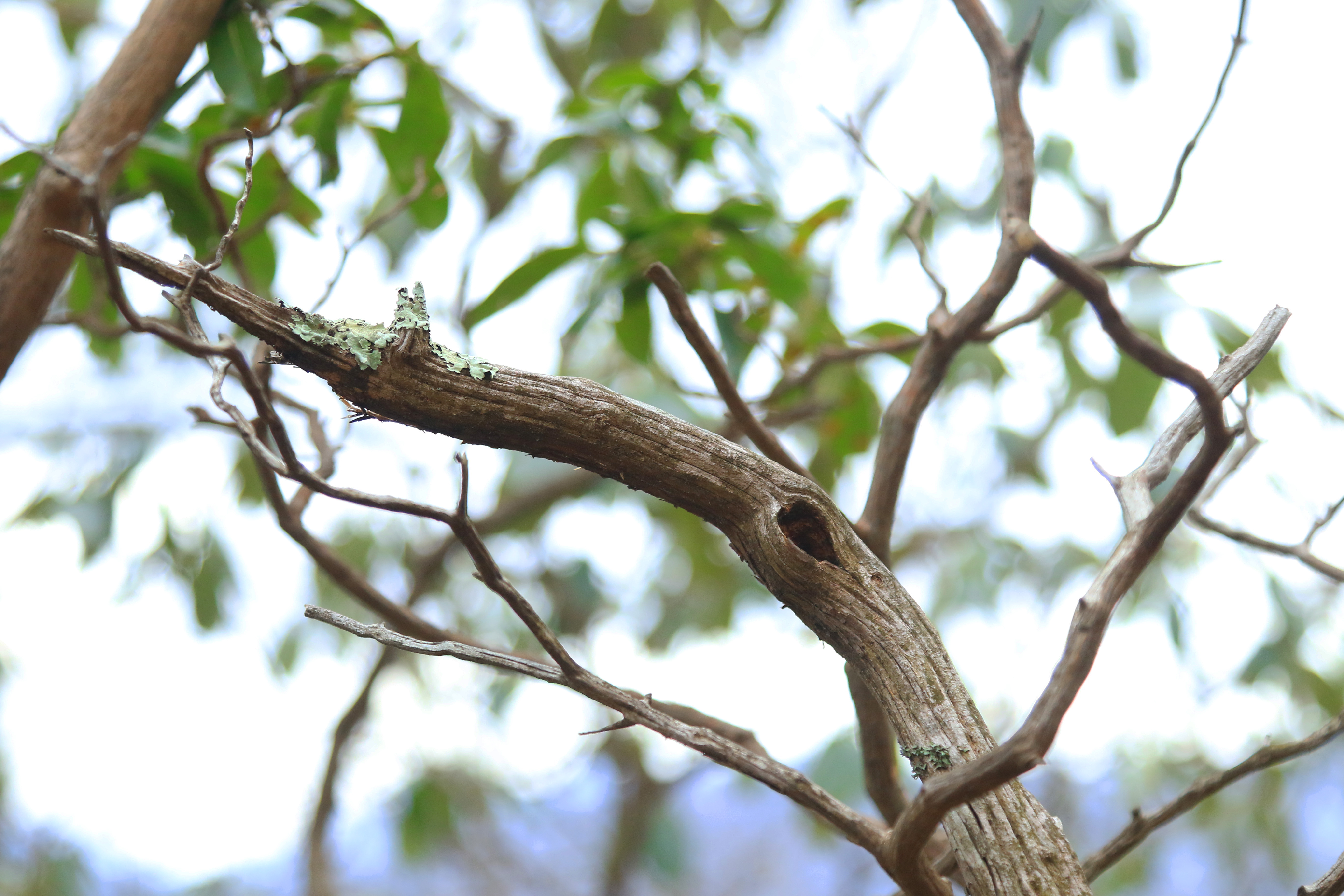 A mountain laurel branch with a few leaves