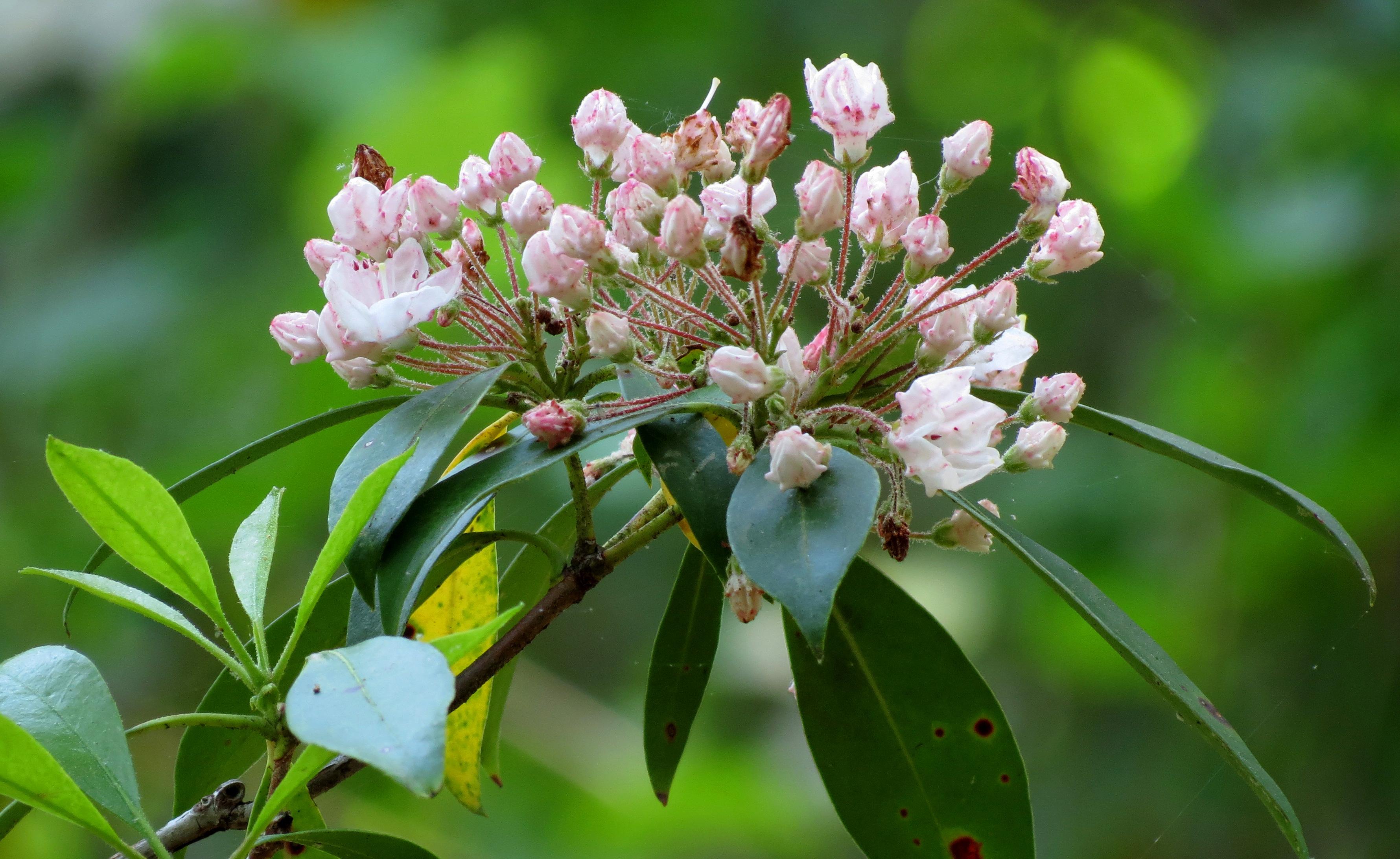Pink mountain laurel flowers