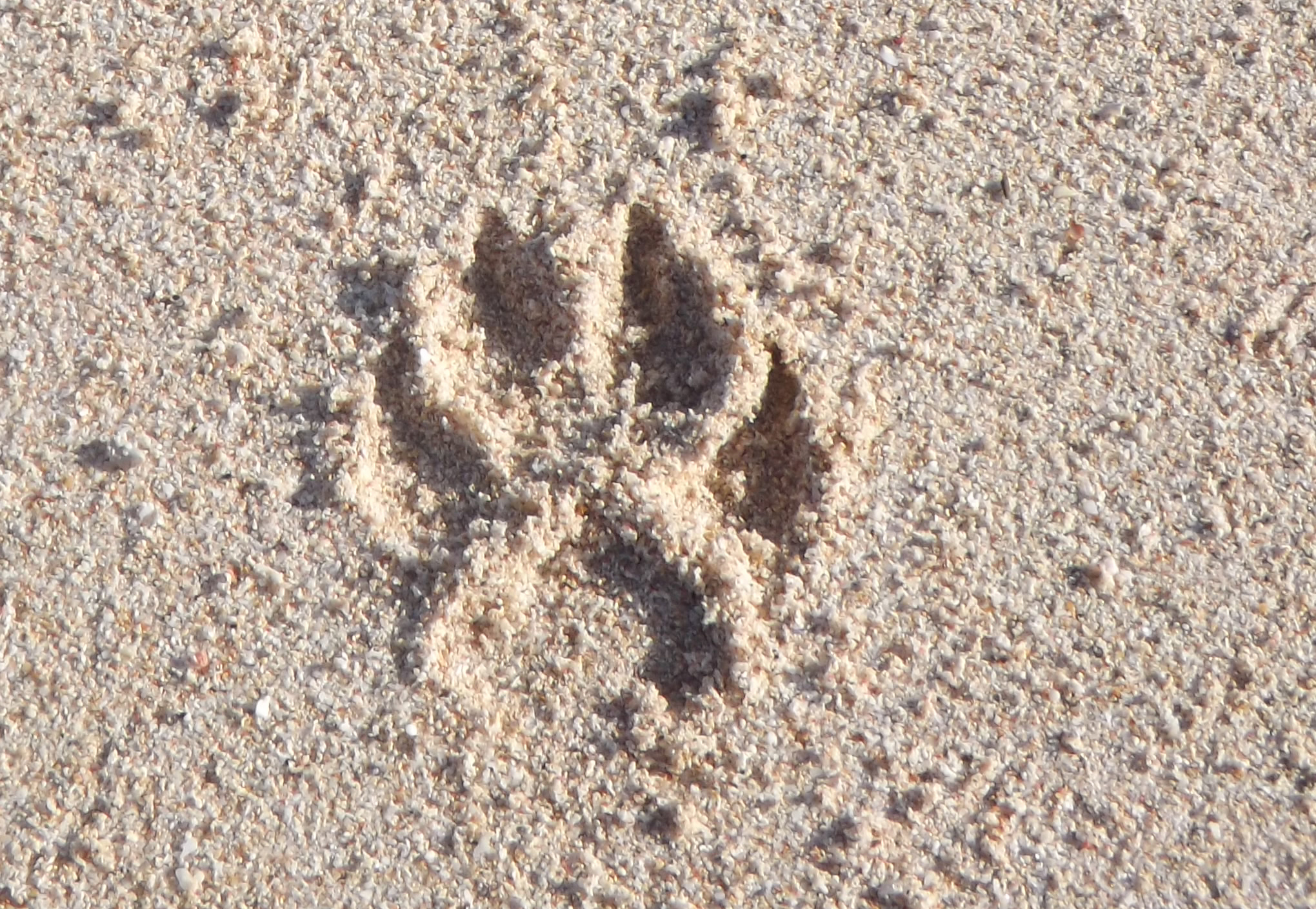 Animal track in sand