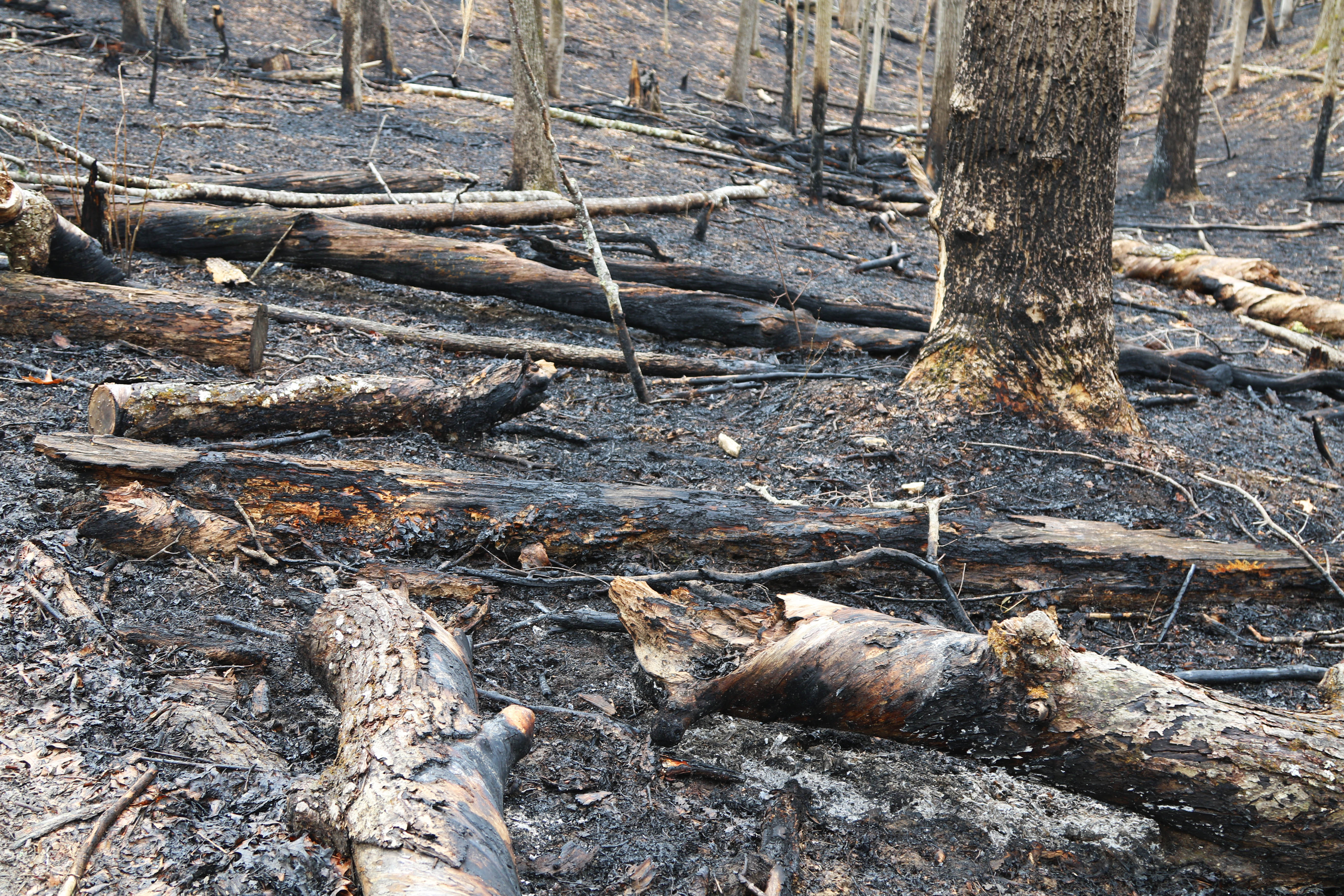 Trees in a partially burnt forest