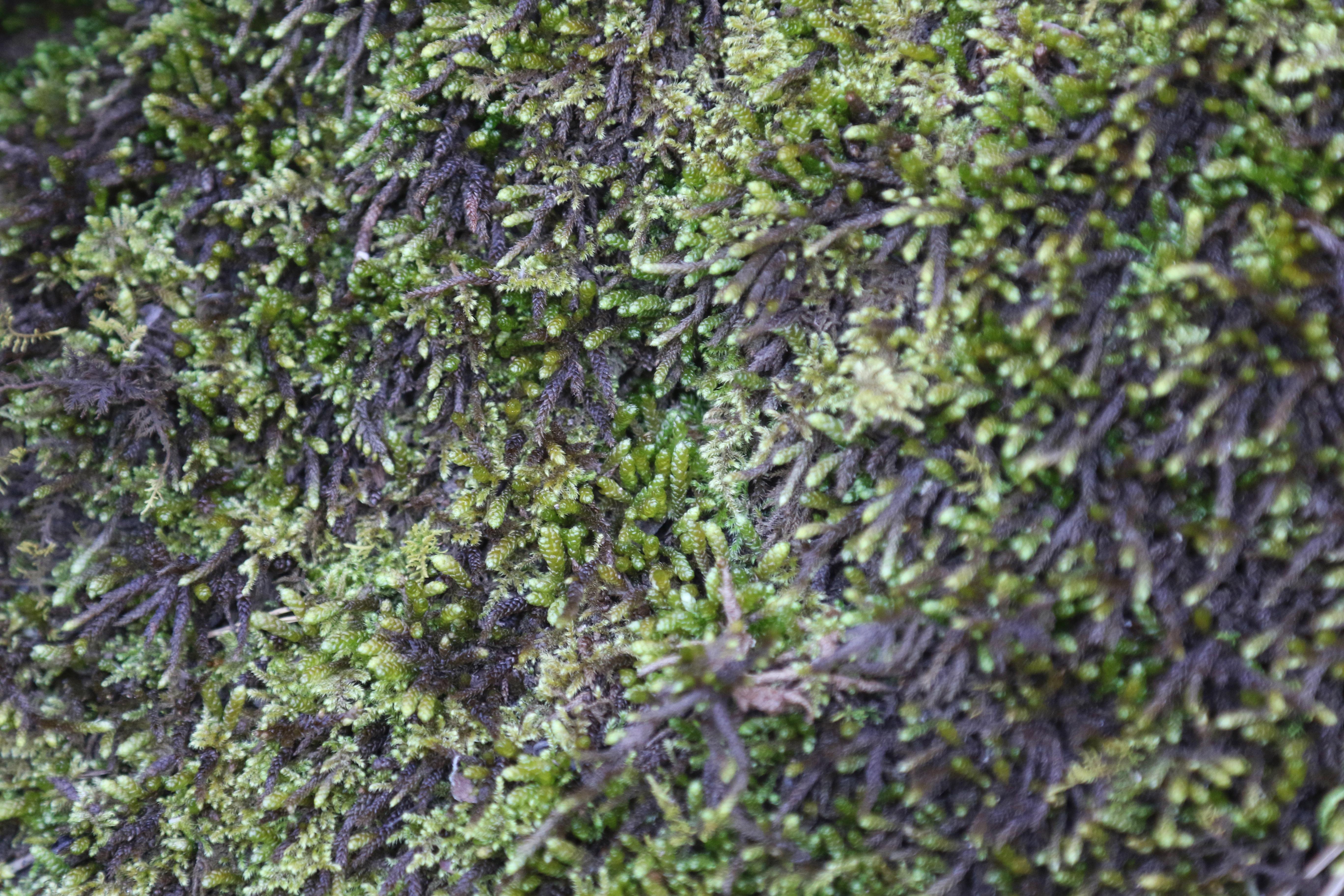A close-up photo of dark green moss