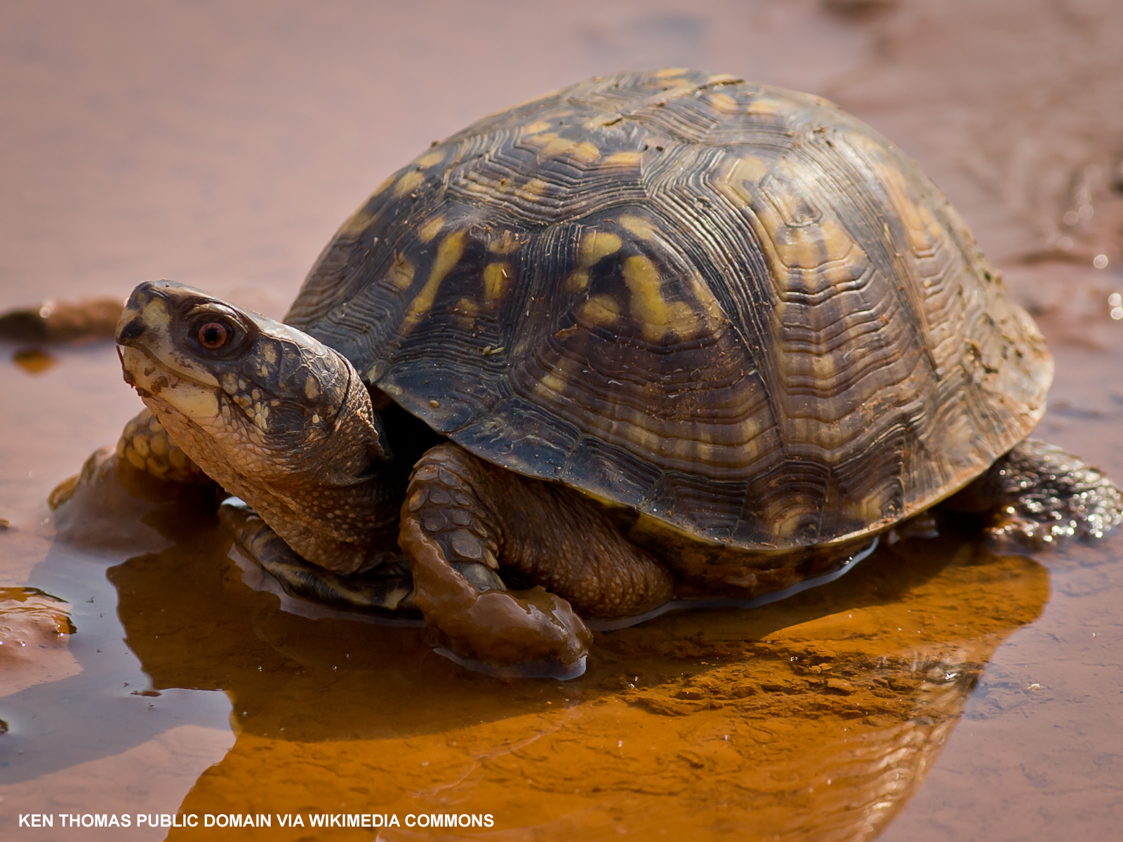 Close-up photo of a box turtle