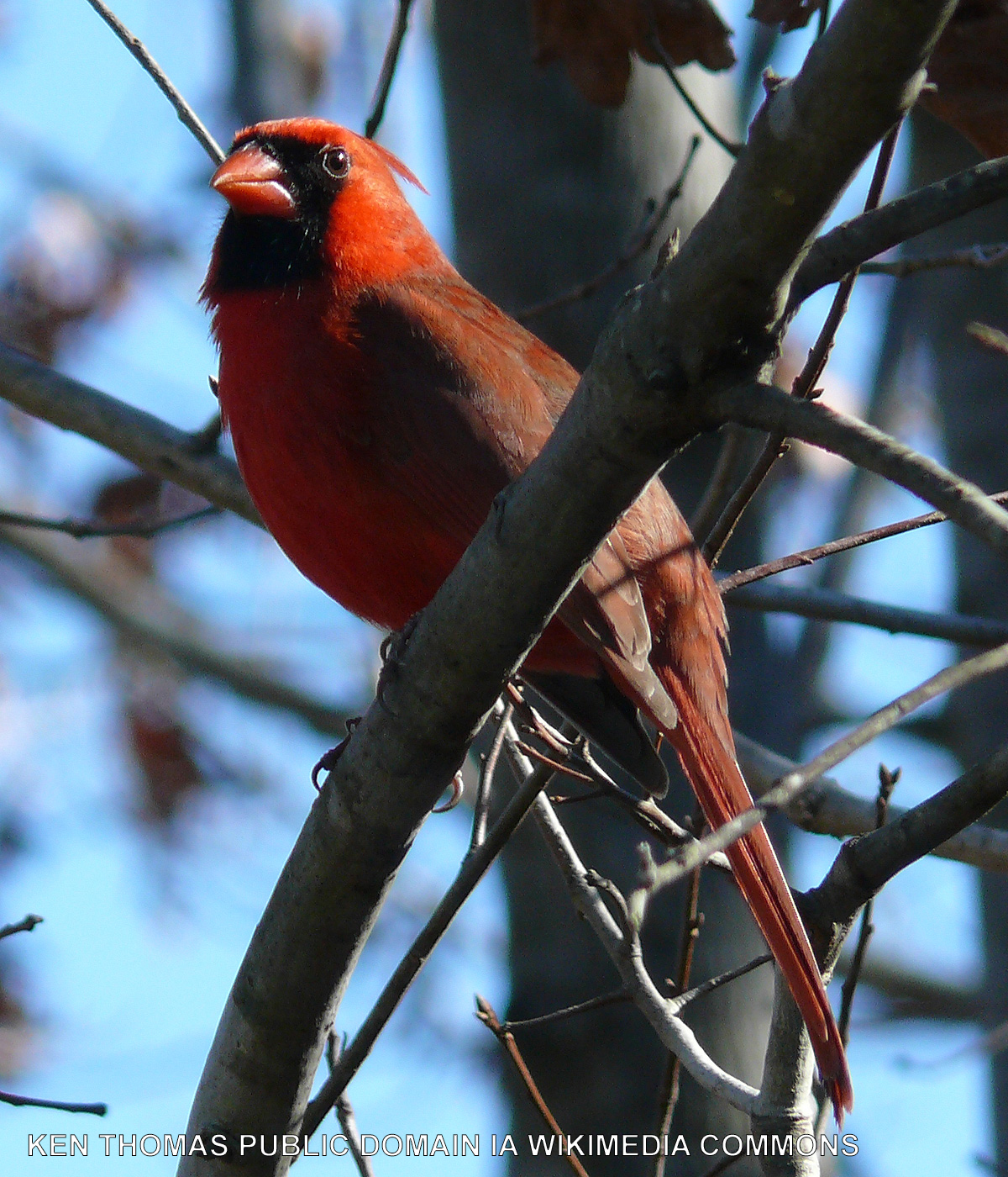 Male cardinal on a branch.