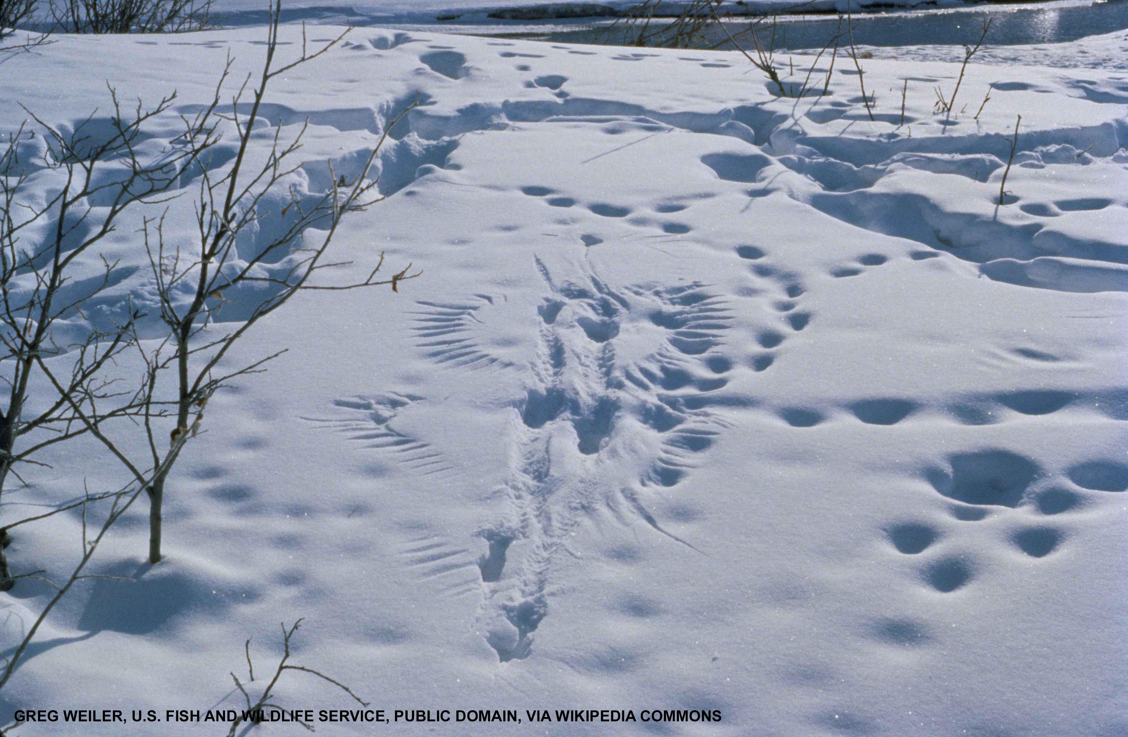 Animal tracks including bird wings in snow