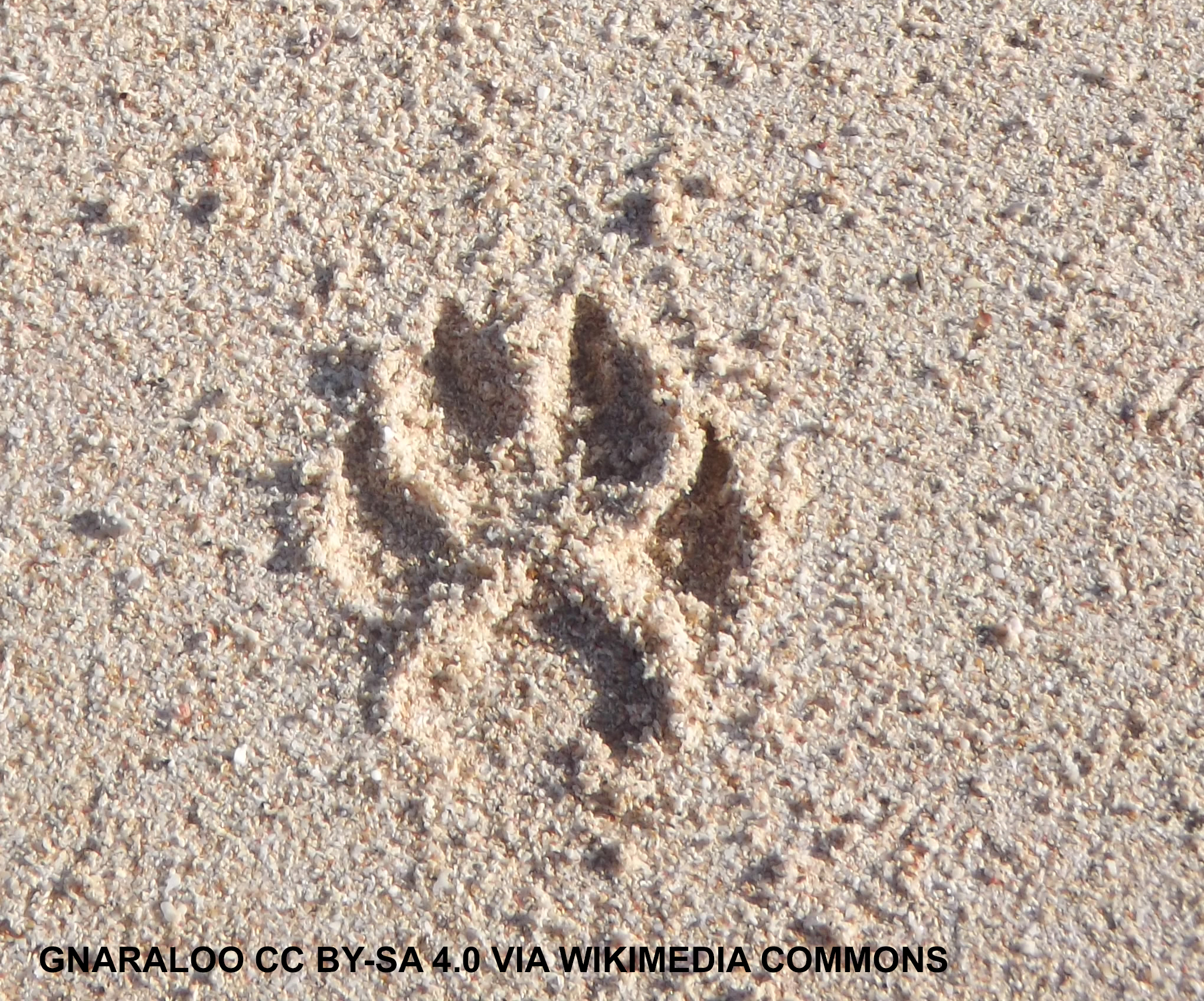 A dogs footprint in sand