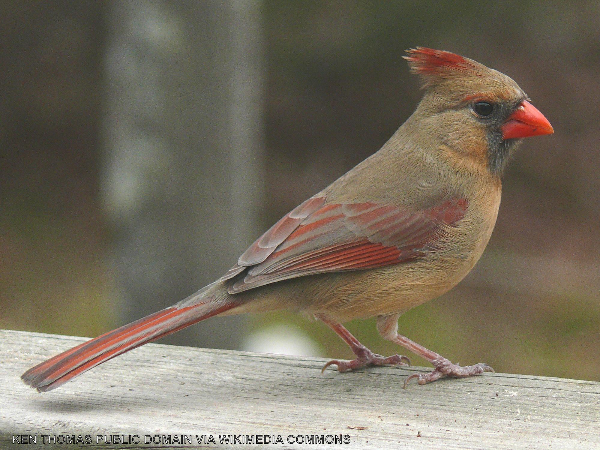 A female cardinal on a plank.