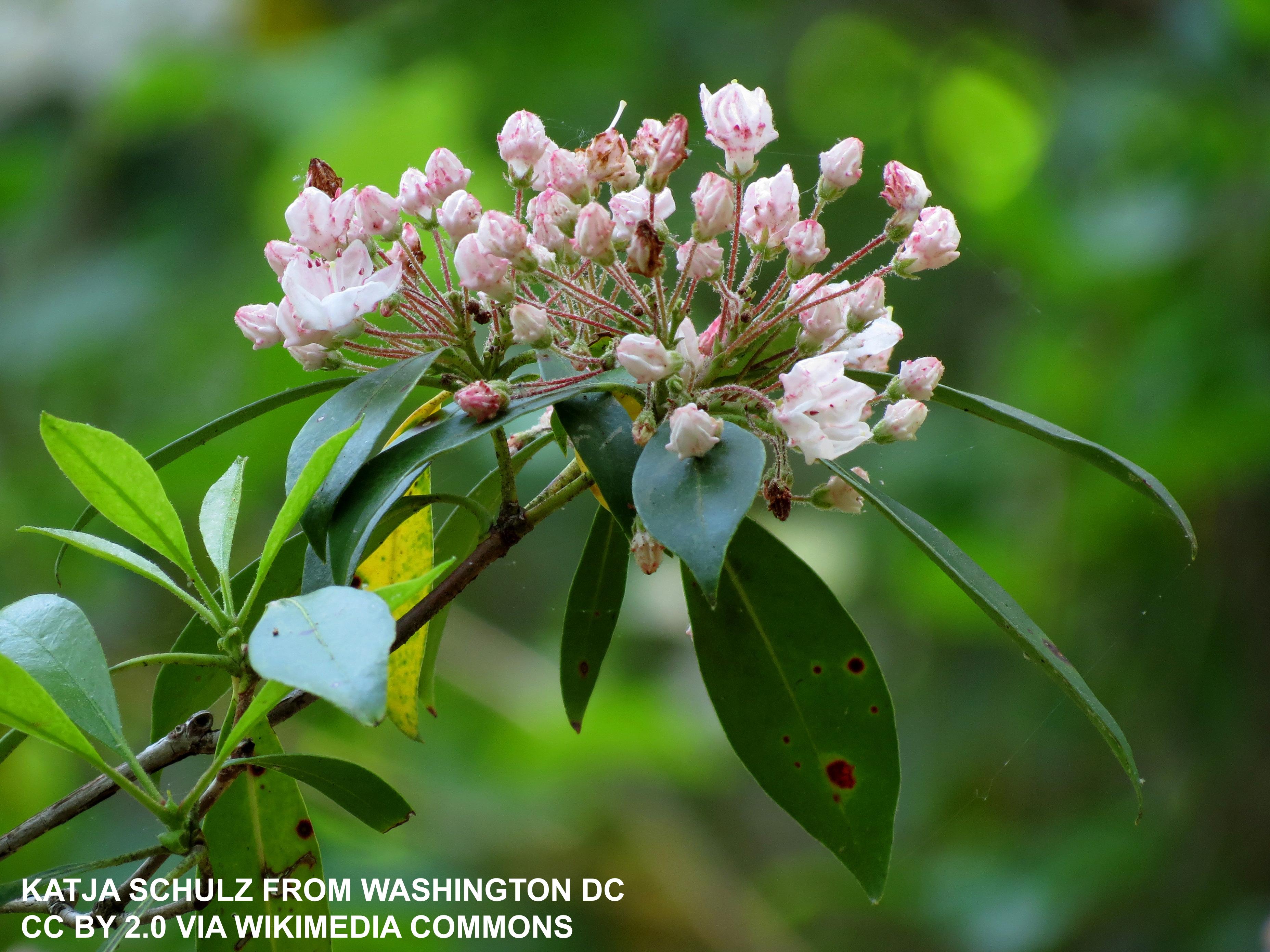 A bloom of light pink laurel flowers
