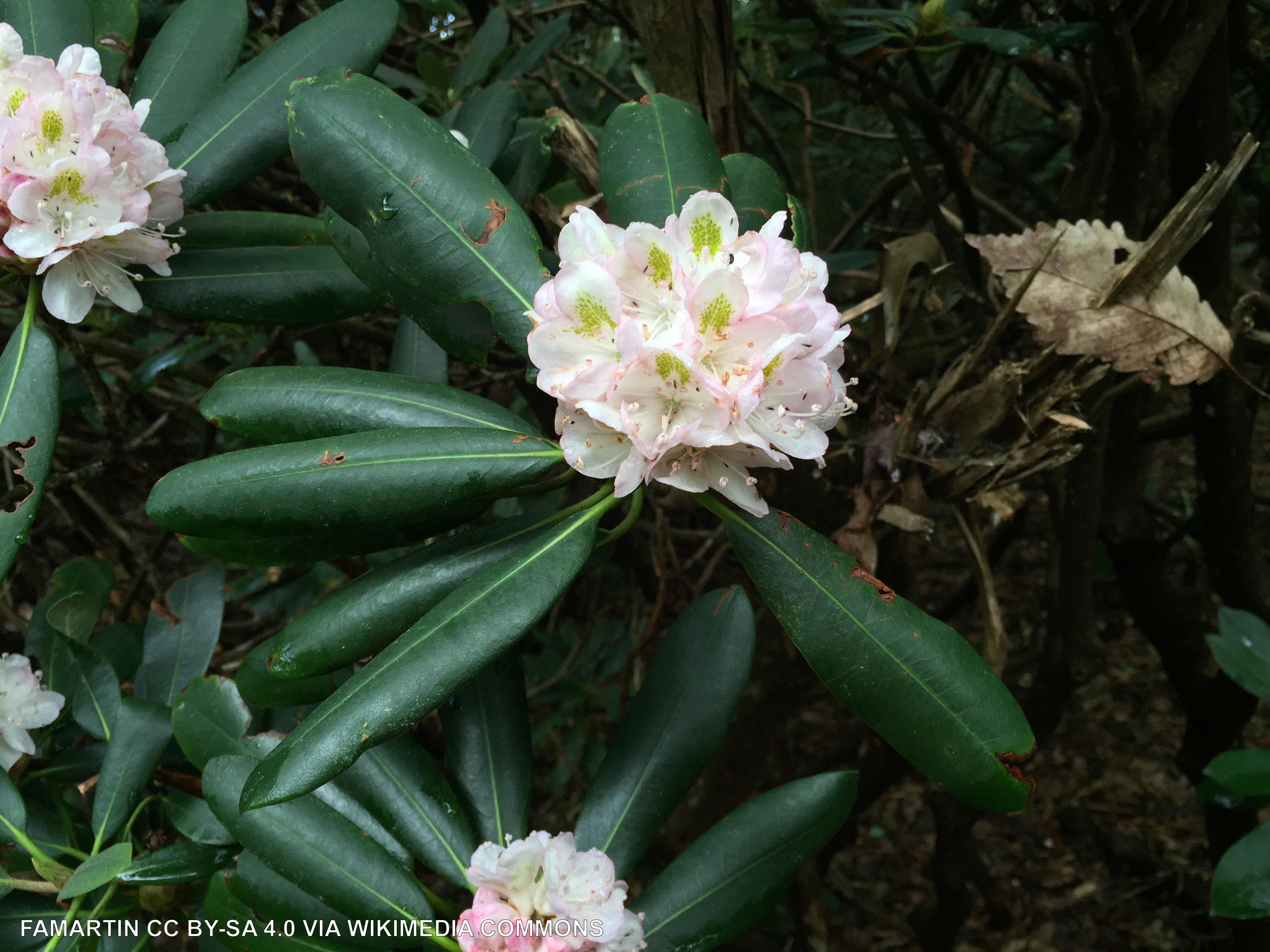 Bloom of light pink rhododendrons