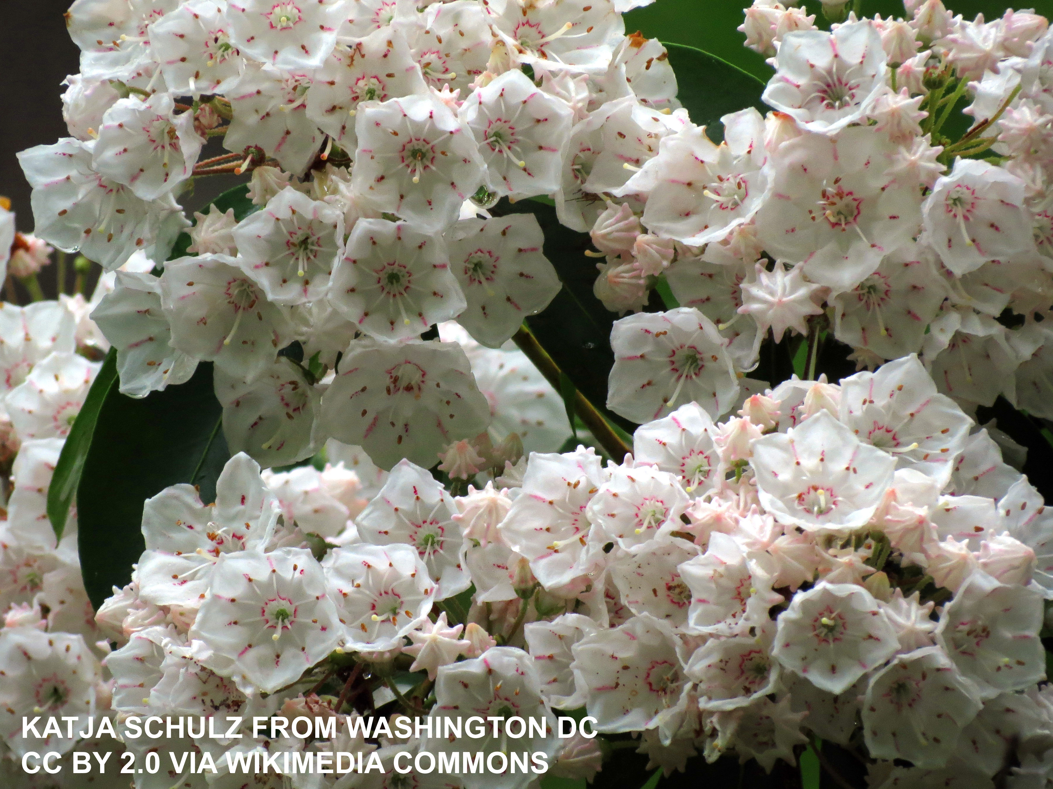 White and pink mountain laurel flowers
