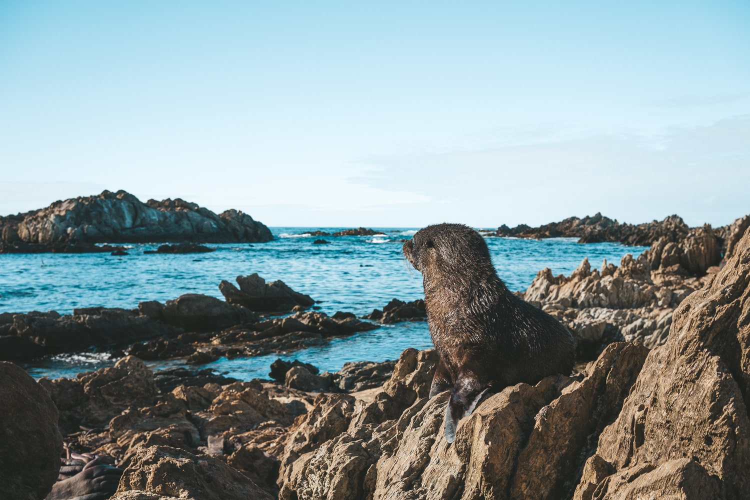 baby seal in the chatham islands new zealand
