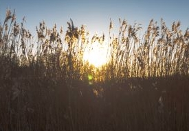 Long wheat reeds against a setting sun and clear blue skies