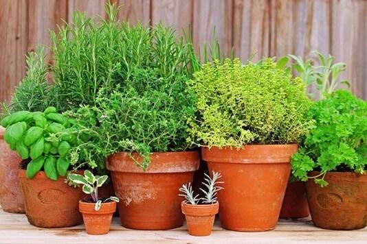 Herbs at Vicki home