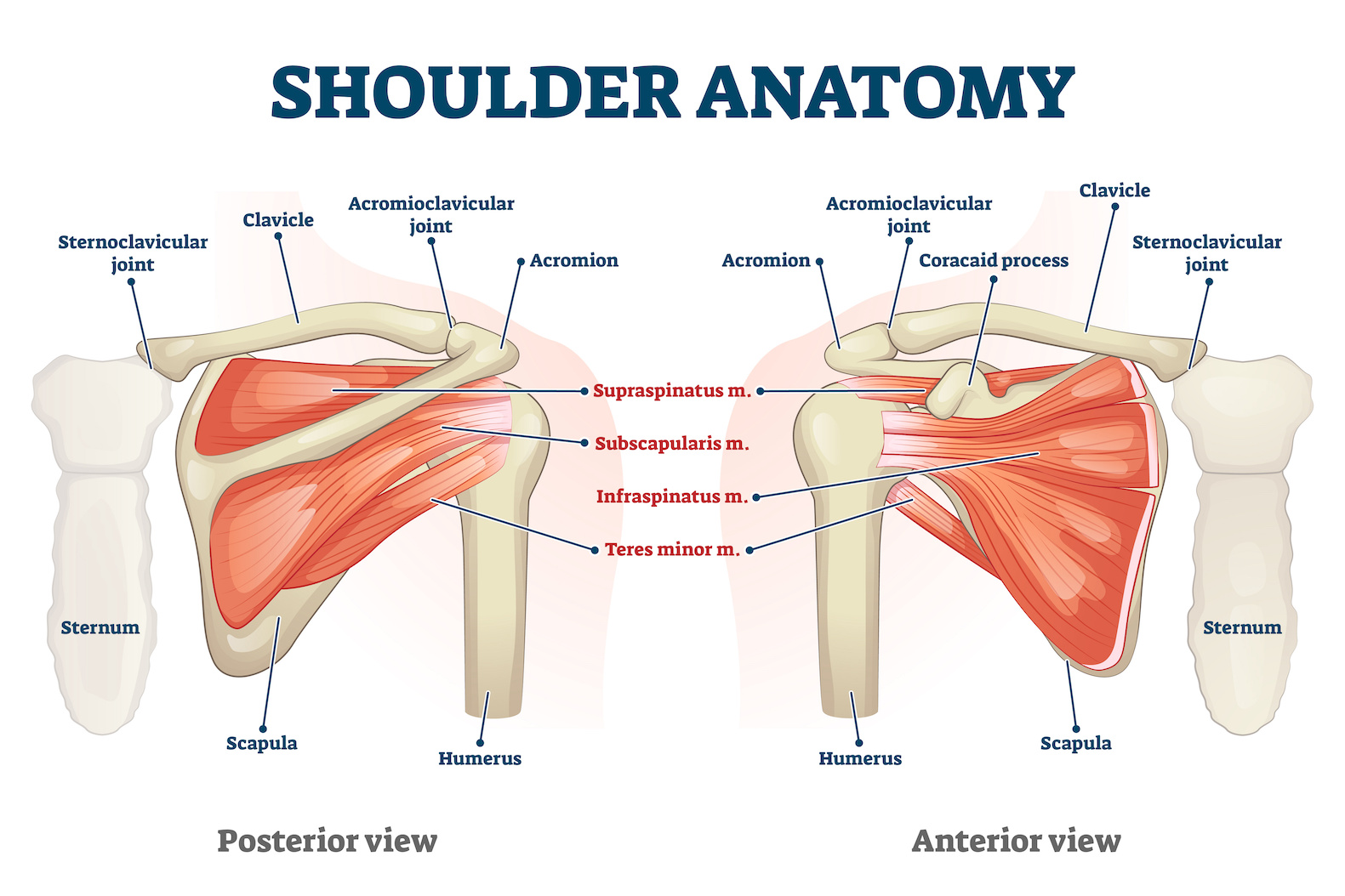 Picture of shoulder anatomy