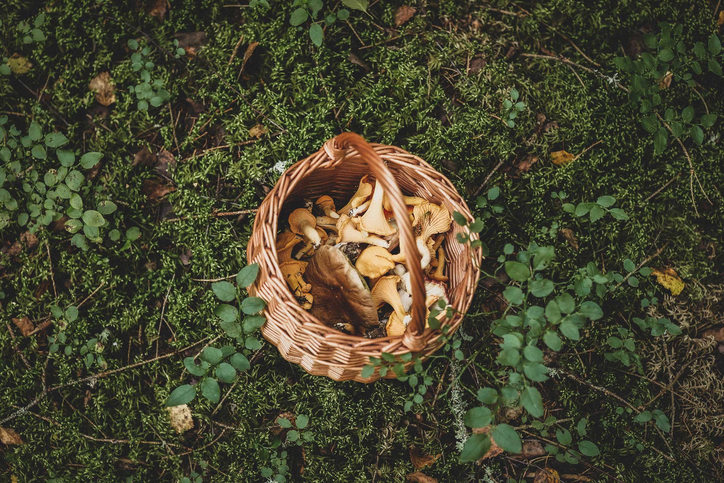 kantarelle mushrooms