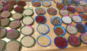 40 de las 1000 variedades de arroz salvadas por el Instituto Navdanya