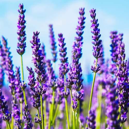 French & English Lavender Buds | Organic Dried Herb