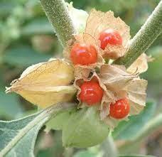 Ashwaganda | Organic Dried Herb