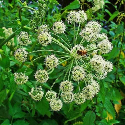 Dong Quai | Organic Dried Herb