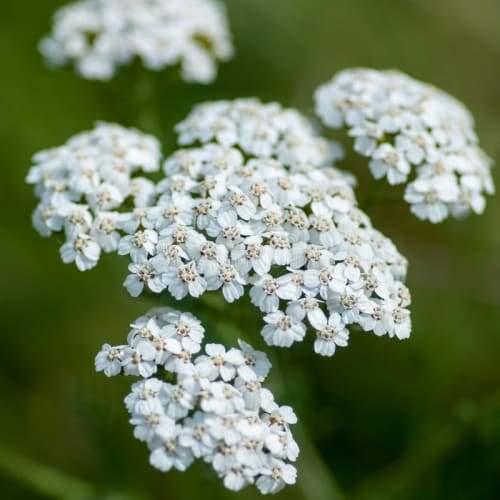 Yarrow   Organic Dried Herb