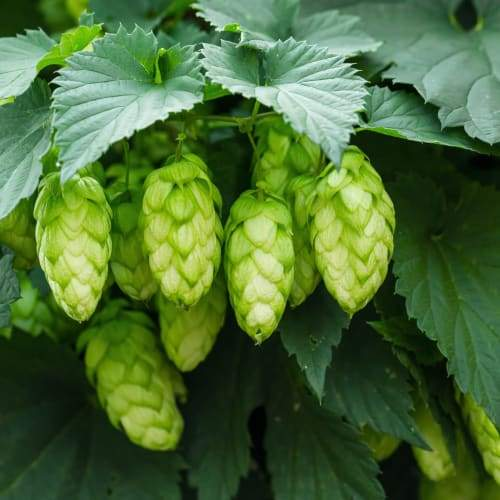 Hops   Organic Dried Herb