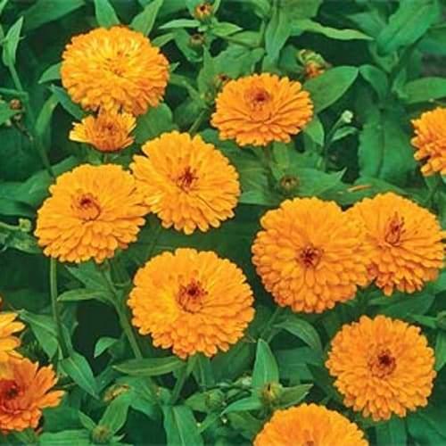 Calendula Flowers | Organic Dried Herb