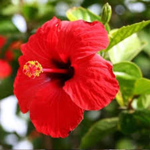 Hibiscus | Organic Dried Herb