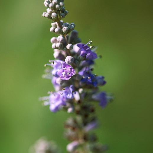 Chaste Tree Berries | Organic Dried Herb