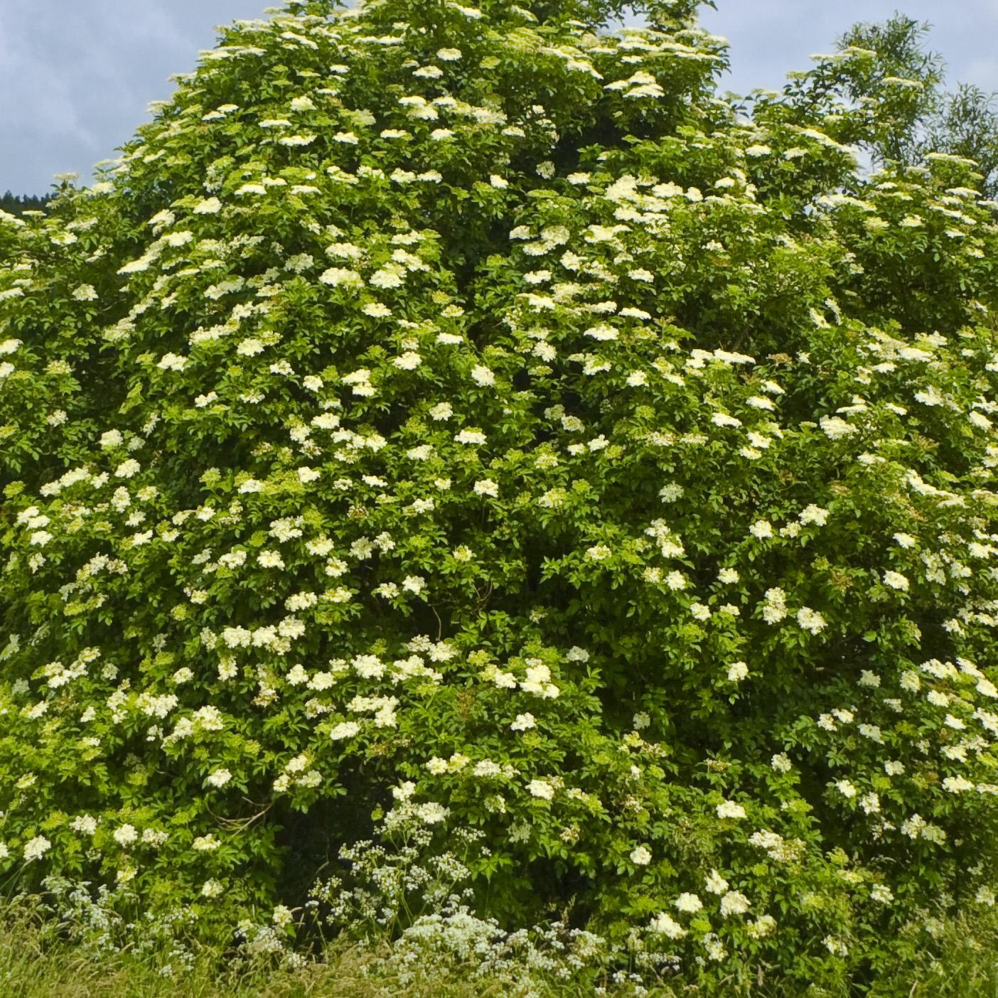 Elderflowers | Organic Dried Herb
