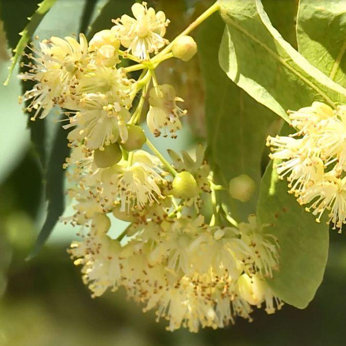 Linden Leaf & Flower | Organic Dried Herb