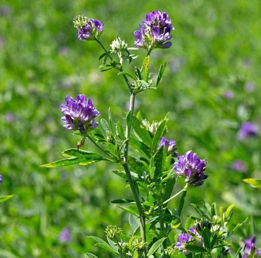 Alfalfa | Dried Organic Herb