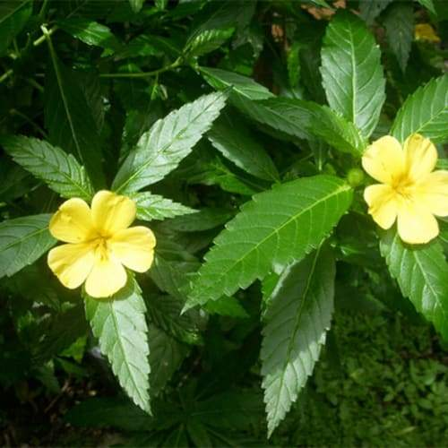 Damiana | Dried Organic Herb