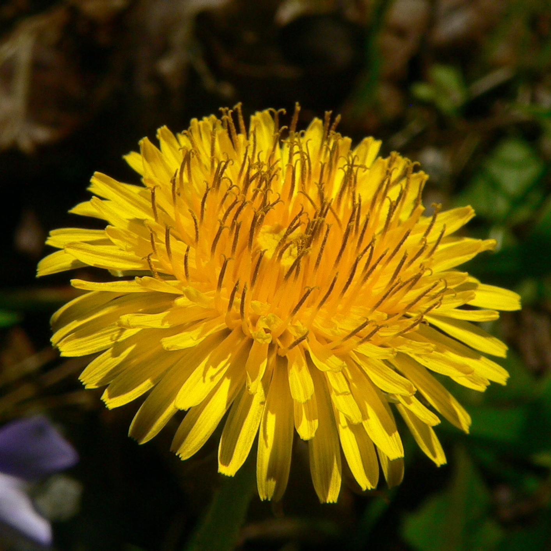 Dandelion Root & Leaf | Dried Organic Herb