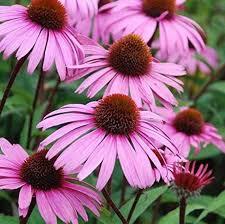 Echinacea Root, Leaf, Flowers | Dried Organic Herb