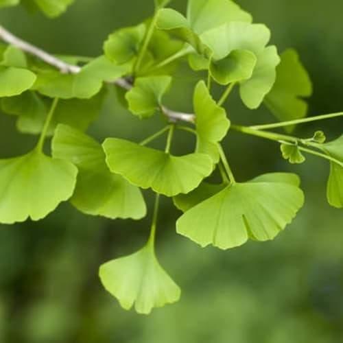 Ginkgo Leaves | Dried Organic Herb
