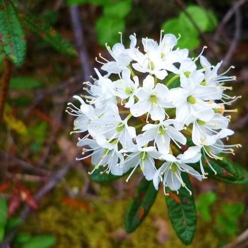 Labrador Leaf   Dried Organic Herb