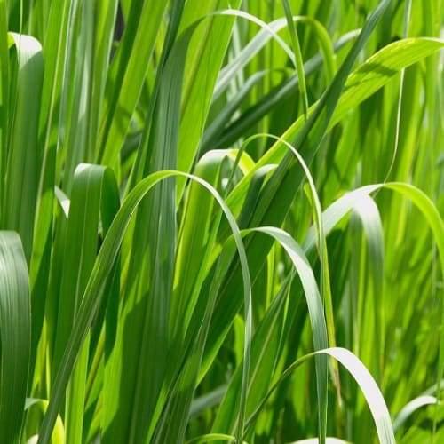 Lemongrass | Dried Organic Herb
