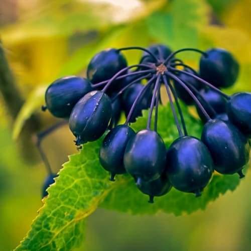 Siberian Ginseng   Dried Organic Herb