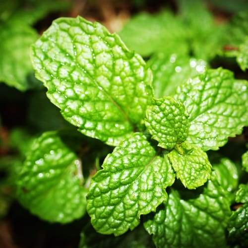 Spearmint Leaves | Dried Organic Herb