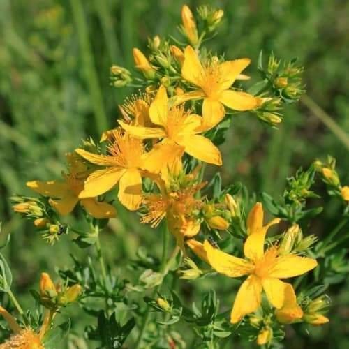 St. John's Wort | Dried Organic Herb