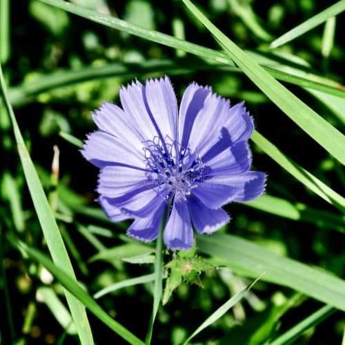 Wild Chicory | Dried Organic Herb